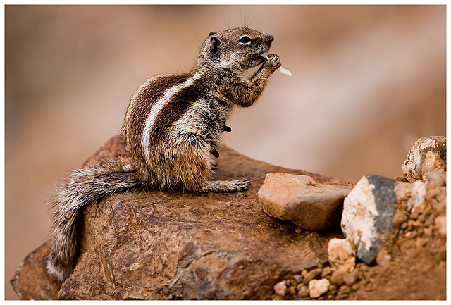 Animals - Chipmunk