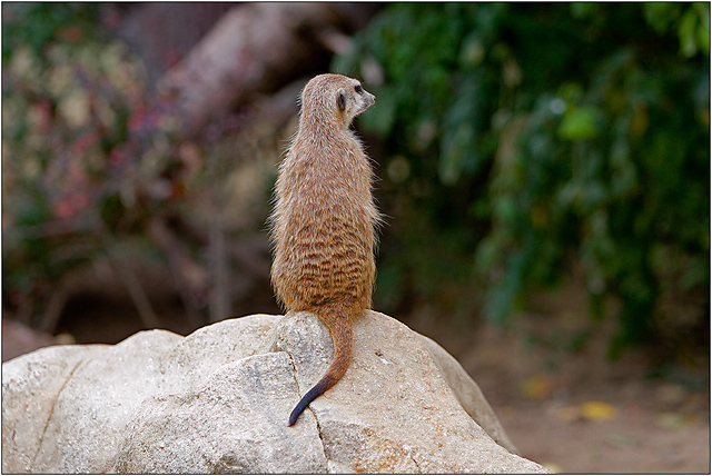 Animals - Prairie Dog