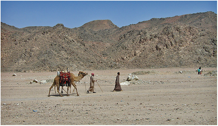 Egypt - Bedouins with camels